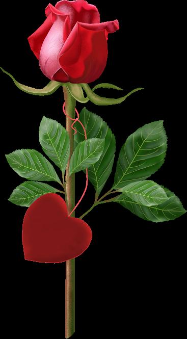 Pour La St Valentin Une Rose